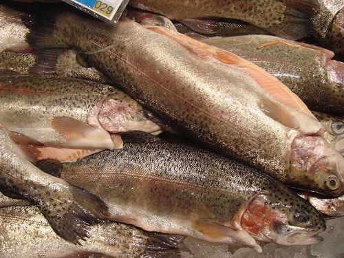 Trucha de río, su temporada de pesca y mucho más | HCMN