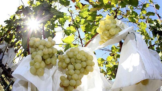 Uvas de Vinalopó (Alicante)