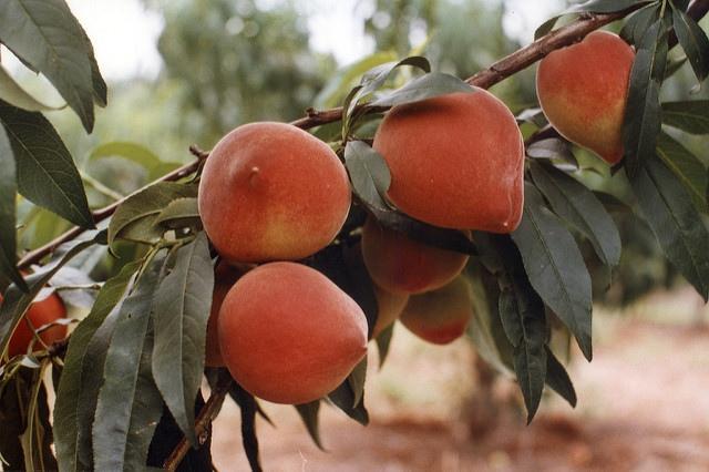 Las diferencias del melocotón y la nectarina | HCMN