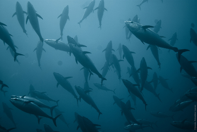 ¿Todo el bonito es atún y todo el atún es bonito? | HCMN