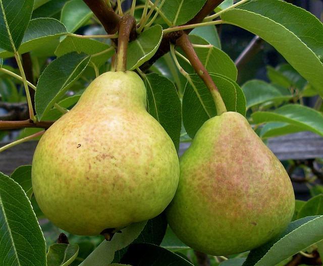 ¿Conoces todas las variedades de peras?