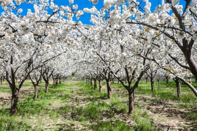Ver florecer el valle del Jerte, el mejor plan para hacer en familia | HCMN