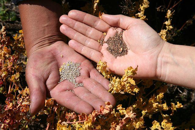 La quinoa, un súper alimento con mucha historia | HCMN