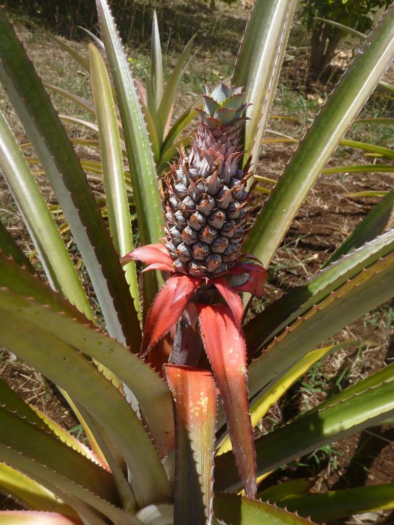 planta-de-la-pina