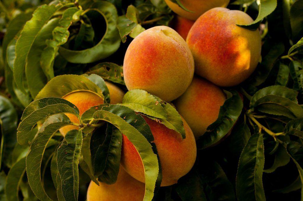 Frutas del verano: nectarina, albaricoque y melocotón | HCMN