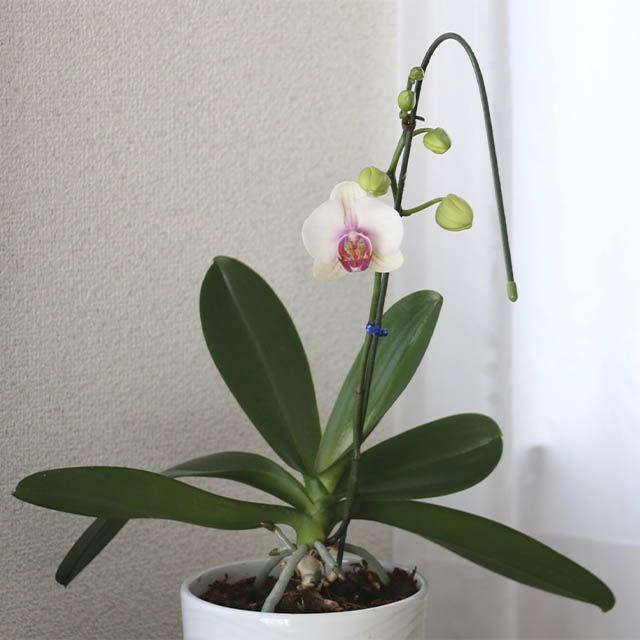 Orquídeas para el día de la madre