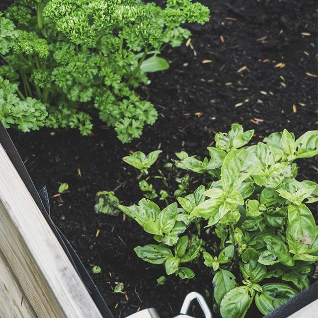 cómo sembrar plantas aromáticas